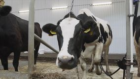 Tres vacas de ordeño permanecen en paradas y mastican su comida en cámara almacen de metraje de vídeo