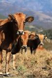 Tres vacas detrás de uno a Fotos de archivo libres de regalías