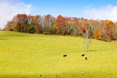 Vacas negras en un prado imagen de archivo libre de regalías