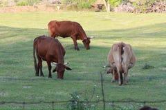 Tres vacas A que pastan Foto de archivo