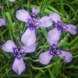 Tres wildflowers de la púrpura del pétalo Imagen de archivo