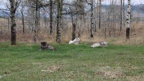 Tres wolfs