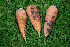 Tres zanahorias puestas en una hierba Imagenes de archivo