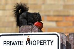 Black Squirrel stock images