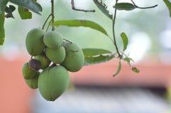 Tress манго в парке стоковое изображение rf