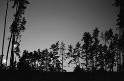 Tress сосны Стоковое Изображение RF