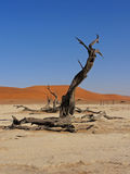 Tress at sossusvlei Namibia - desert. View across Deadvlei, sossusvlei, Namibia. Dead camel thorn trees in the Namib-Naukluft desert Royalty Free Stock Photo