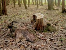 Tress In Forest Nursery In alta senza vita Kashmir Valley India immagine stock