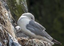Tretåig mås med fågelungen Royaltyfria Bilder