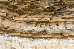 Tretåig måsfiskmås som bygga bo på en klippa Royaltyfria Foton