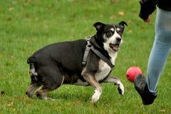 Treten des Balls für einen spielerischen Hund Stockfotos