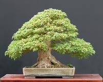 treudd för bonsailönnsommar Royaltyfri Bild