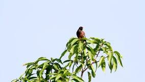 Treurmaina. Treurmania bird is singing on an branch in de garden stock footage
