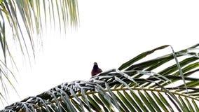 Treurmaina. Treurmania bird is singing on an branch in de garden stock video