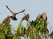 Treurtortel, Mourning Collared-Dove, Streptopelia decipiens. Treurtortels, Mourning Collared-Doves stock image