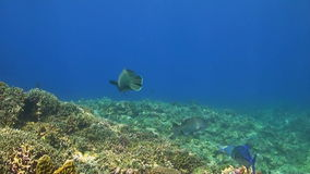 Trevallies and Napoleon. A colorful coral reef with Bluefin Trevallies, Emperors and Napoleon Wrasse stock video footage