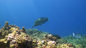 Trevallies and Napoleon. A colorful coral reef with Bluefin Trevallies, Emperors and Napoleon Wrasse stock video