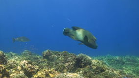Trevallies and Napoleon. A colorful coral reef with Bluefin Trevallies, Emperors and Napoleon Wrasse stock footage