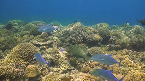Trevallies and Napoleon. A colorful coral reef with Bluefin Trevallies, Giant Trevallies and Napoleon Wrasse stock video