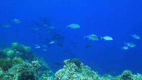 Trevallies and Snapper. Coral reef with a school of Snapper and Trevallies stock video