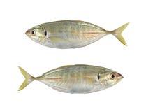 trevally大眼鲷或暗淡的起重器或者trevally伟大的海鱼孤立 库存照片