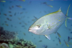 Trevally Stock Photo