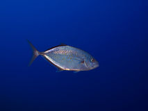 Trevally Stock Photos
