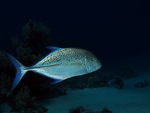 Trevally Stock Photography