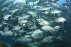 学校Trevally鱼(杰克鱼) 免版税库存照片