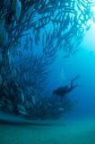 Trevally baitball and diver Royalty Free Stock Photography