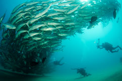Trevally baitball and diver Stock Photo