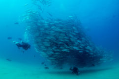 Trevally baitball and diver Stock Image