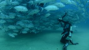 Trevally baitball and diver. School of fish from the sea of cortez, mexico stock video footage