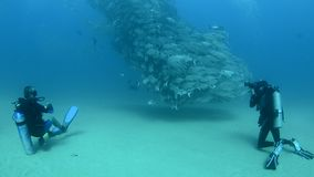 Trevally baitball and diver stock footage