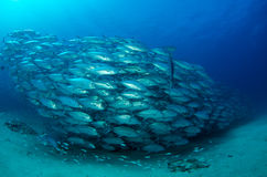 Trevally baitball Royalty Free Stock Images