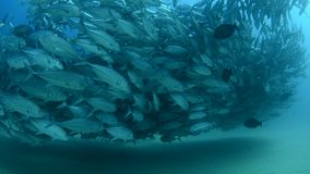 Trevally baitball stock video footage
