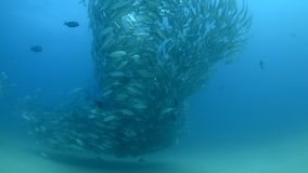 Trevally baitball. School of fish from the sea of cortez, mexico stock video footage