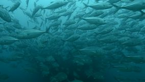Trevally baitball. School of fish from the sea of cortez, mexico stock footage