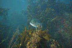 Trevally chuje w kelp Fotografia Royalty Free