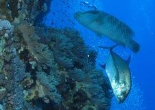 Trevally et wrass napolean sur le mur de récif chez Gota Kebir, St John Photo stock