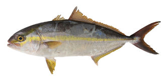 Trevally fish Royalty Free Stock Photos