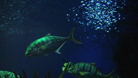 Trevally fish stock footage