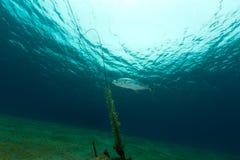 trevally Gelb-punktiert im Roten Meer stockfotos