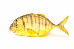 trevally Goledn鱼 库存图片