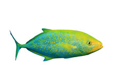 Trevally (Jack fish) Royalty Free Stock Photo