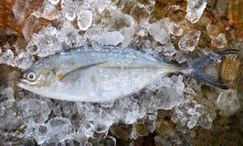 Trevally peixes frescos congelados Fotografia de Stock Royalty Free