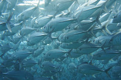 Trevally (Pseudocaranx dentex) Stock Photo