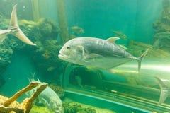 Trevallyvissen Jackfish onder water in aquarium royalty-vrije stock fotografie