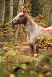 Trevlig appaloosasto i höstskog Fotografering för Bildbyråer