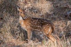 Trevlig bild av en indisk hjort som vänder mot kameran Royaltyfria Foton